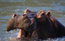 Hipopotam w wodzie z otwartą paszczą.